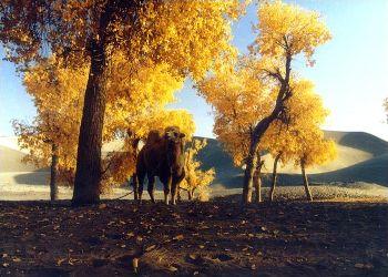 内蒙古沙坡头 西夏王陵 月亮湖 怪树林 胡杨林秋色十天直航精选游